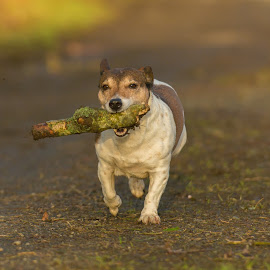 Bring home the wood by Janet Packham - Animals - Dogs Running ( pet, pets, lovely, dog, jackrussell, running )