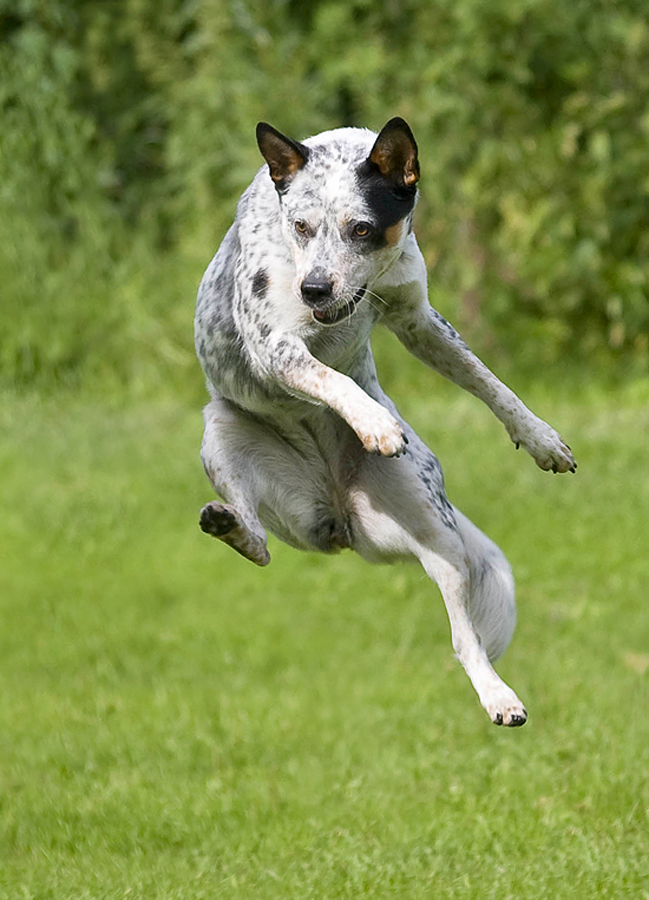 Cattledog by Marie Gillander - Animals - Dogs Portraits