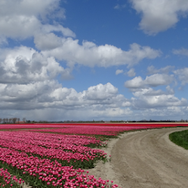 tulips fields by Nico Kranenburg - Landscapes Prairies, Meadows & Fields ( cloudy sky, holland, tulip, fields,  )
