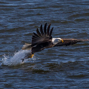 Gotcha! by Jerry Alt - Animals Birds ( eagle, fish, bald, fishing, river, mississippi )