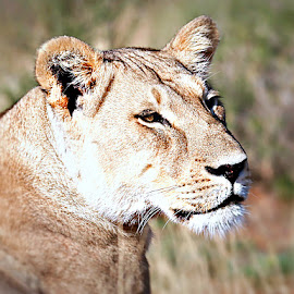 A Young Lady by Pieter J de Villiers - Animals Lions, Tigers & Big Cats