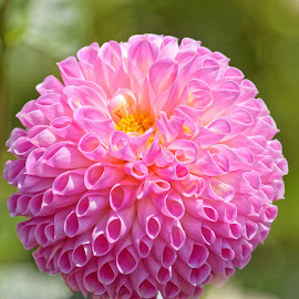 Dahlia 9833 by Raphael RaCcoon - Flowers Single Flower