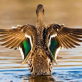 Emerald Wings by Gideon Malherbe - Animals Birds ( water, ducks, birds, colours, birding )