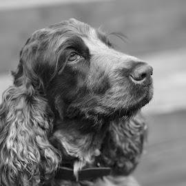 by Paul Levy - Animals - Dogs Portraits ( pet, cocker spaniel, dog portrait )