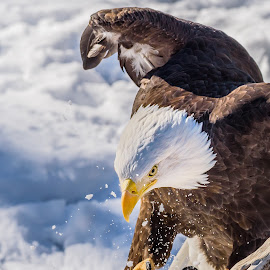 Eagle 5 by John Sinclair - Animals Birds ( nature, easgle, wildlife, baldeagle )