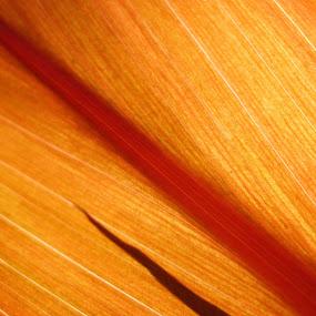 Red leaf close up. by Yogesh Kumar - Nature Up Close Leaves & Grasses ( red, leaf, veins, light, sun )