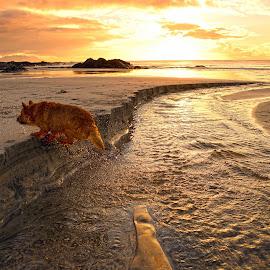 running over the stream by Marius Birkeland - Animals - Dogs Running ( stream, reflection, sunset, beach, dog,  )
