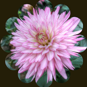 Pink And White Dahlia by Millieanne T - Flowers Single Flower