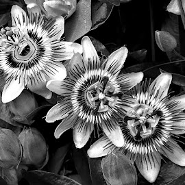 Passiflora in B&W by Chrissie Barrow - Black & White Flowers & Plants ( plant, monochrome, passionflower, black and white, passiflora, flowers, garden, mono )