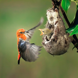 for Breakfast by Indrawaty Arifin - Animals Birds ( scarlet, nest, feeding, birds )