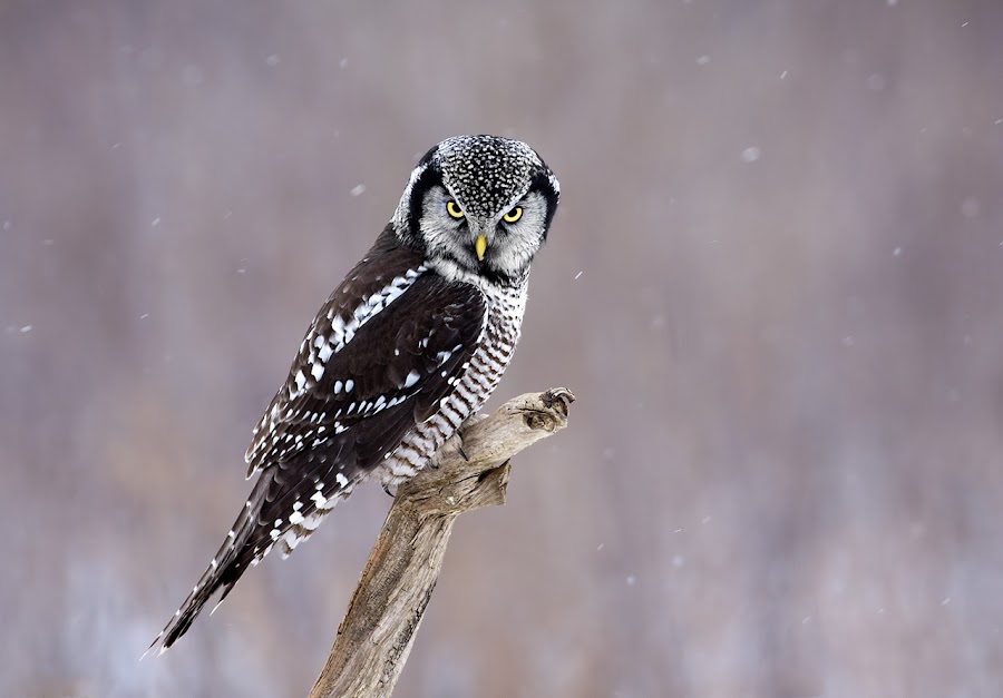 Northern Hawk Owl / Chouette épervière by Rachel Bilodeau - Animals Birds ( northern hawk owl / chouette épervière )