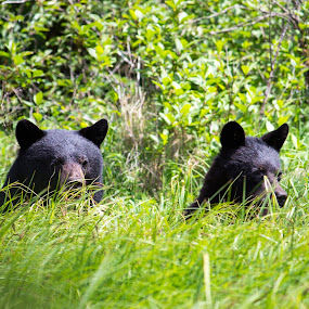 Bears by Devin Rieger - Animals Other Mammals ( wild, nature, bushes, grass, bears, green, outdoors, trees, telephoto, animal,  )
