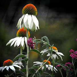 Cone Flower by Judy Laliberte - Novices Only Flowers & Plants ( nature, color, dark, light, flower )