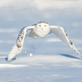 by Jocelyn Rastel-Lafond - Animals Birds ( harfang des neige, bird, owl, harfang, snowy owl )