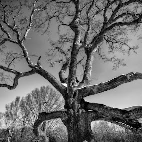 The Granby Oak by Jason Weagle - Nature Up Close Trees & Bushes
