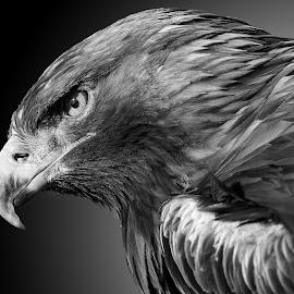eagle by Christoph Reiter - Black & White Animals ( eagle, black and white, portrait )