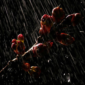 by Joseph Quartson - Nature Up Close Trees & Bushes ( high key, leaves, buds, april showers, droplets )