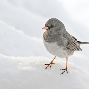 Trekking in the Snow by Kathy Jean - Uncategorized All Uncategorized ( bird, bunting, snow bunting, snow, animal,  )