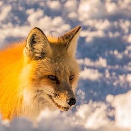 by Jeff Pedersen - Animals Other Mammals