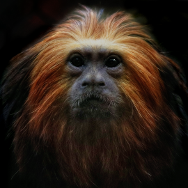 Golden Lion Tamarin by Kimberly Sharp - Animals Other ( canon, lion, tamarin, wildlife, monkey, golden,  )