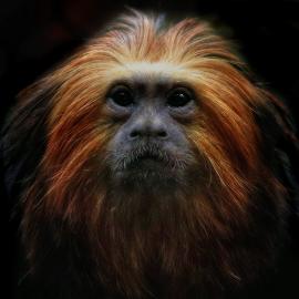 Golden Lion Tamarin by Kimberly Sharp - Animals Other ( canon, lion, tamarin, wildlife, monkey, golden )