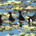 Common Gallinule (with chicks)