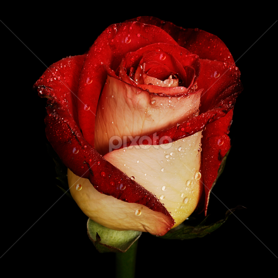 Red rose bi-tone by Cristobal Garciaferro Rubio - Nature Up Close Flowers - 2011-2013 ( rose, drop, drops, roses, raindrops, flowers, flower )