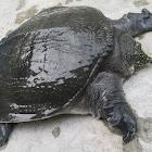 Asiatic Softshell Turtle