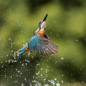 Male Kingfisher by Charlie Davidson - Animals Birds ( bird, scotland, wild, animals, nature, wildlife )