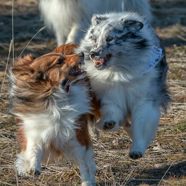by James Harrison - Animals - Dogs Playing