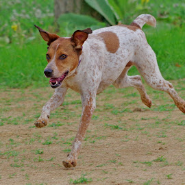 dog by Scott Carver - Animals - Dogs Running ( dogs, dogs playing, dogs running, dog, animal,  )