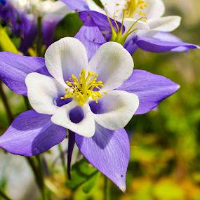Western Columbine by Patricia Phillips - Flowers Single Flower ( flowers columbine purple white )