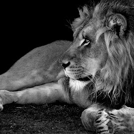 Lion Profile by Shawn Thomas - Black & White Animals