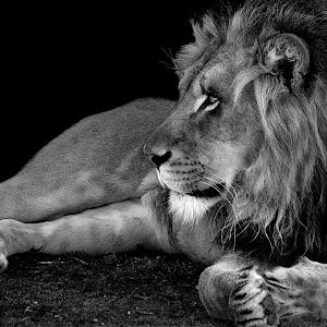Lion Profile7 retake bw.jpg