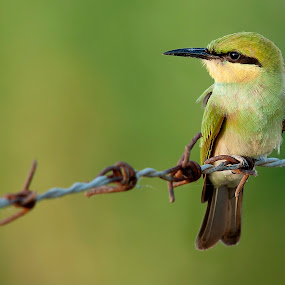 Cutie Pie by Masood Hussain - Animals Birds ( flying colors, freedom, glide, wildlife, little, cute, birds, birding, free, ornithology, sky, nature, wings, action, ecology, juvenile, bird photography, biology, limit, green bee eater, majestic, colors, glory, bird pictures, bird photos, forest, bird, bird shots, magnificent, flight, fly, jungle, blue, take off, high, natural )
