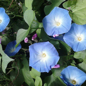 Heavenly Blue Morning Glories by ChrisTina Shaskus - Instagram & Mobile Other