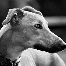 Dog Profile by Chrissie Barrow - Black & White Animals ( monochrome, black and white, pet, fur, ears, grey, dog, mono, nose, lurcher, portrait, eye, profile, animal )