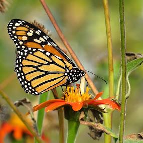 monarch cove island by Erika  Kiley - Novices Only Wildlife ( orange, butterfly, monarch, garden, flower,  )