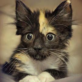 Kitten Eyes by B Lynn - Animals - Cats Kittens ( cats, kitten, cat, animals, pets, portrait, eyes )