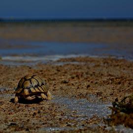 Tortoise by Kareem Mohamed - Animals Other ( running, tortoise, run,  )