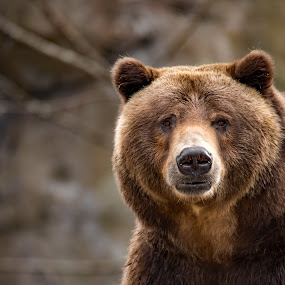 Stop Staring by Roy Walter - Animals Other Mammals ( bear, grizzly, captivity, wildlife, mammal, animal )