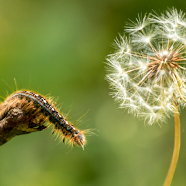 Reaching out for wishes by Christopher Fenning - Nature Up Close Other Natural Objects ( dandelion, nature up close, signs of spring, caterpillar, close up )