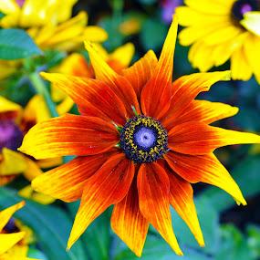 Sun Flower by Kelvin Đào - Nature Up Close Flowers - 2011-2013 ( green, yellow, leaves, garden, flower )