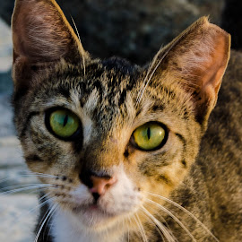 Catty-Up close  by Sumesh Makhija - Animals - Cats Portraits ( headshot, cat, color, in focus, eyes )