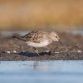A rare vagrant by Stefán Margrétarson - Animals Birds ( bird, iceland, europe, nature, white-rumped sandpiper, outside, animal )
