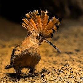 hoopoe by Stanley P. - Animals Birds (  )
