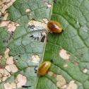 Cleopus weevil larva