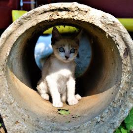 Curiosity... by Marton Rakhel - Animals - Cats Portraits ( look, curios, kitten, blue, innocence, eyes )