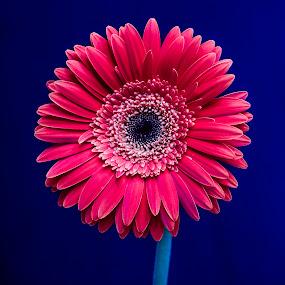 Gerbera beauty... by Rajeev Krishnan - Flowers Single Flower ( flower up close, gerbera daisy, flowers, gerbera, flower photography, flower,  )