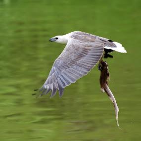 A big catch! by Ken Goh - Animals Birds